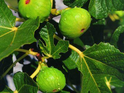 Dubrovnik figs