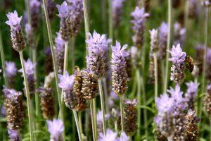 Losinj Lavender